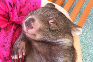 Hayley the Wombat